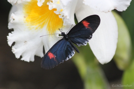 butterfly-on-orchid