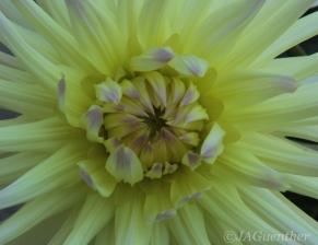 cactus-dahlia