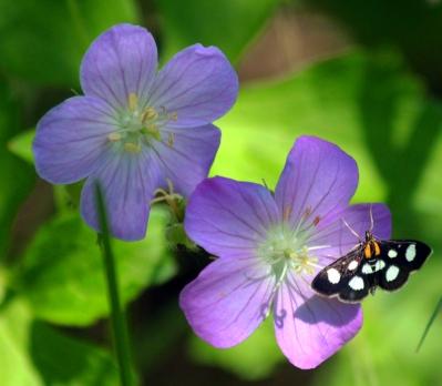 Butterflyflower